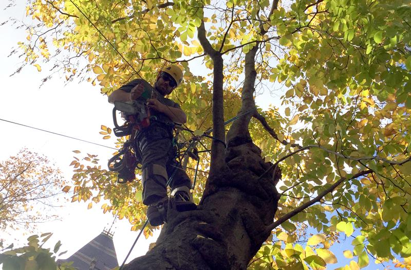 Brendan, a Certified Arborist with BTSE,An arborist begins the careful work of cutting down a now structurally unsound 142 year old yellowwood tree. (Edgar B. Herwick III WGBH News)