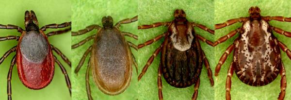 From left, a female deer tick, a male deer tick, a female dog tick and a male dog tick.