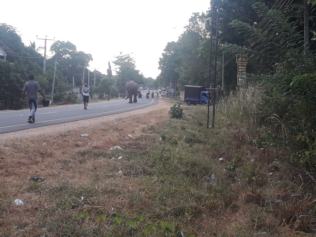 A few weeks before I arrived in Sri Lanka, a wild male elephant wandered down the road where the university is located. I was told many of the locals weren't sure if this was someone's elephant who had gotten loose, and a few of the biology professors had to warn everyone to keep their distance. The elephant was led to a safer area further away. Photo courtesy of Chamika, one of the lecturers at Rajarata University.