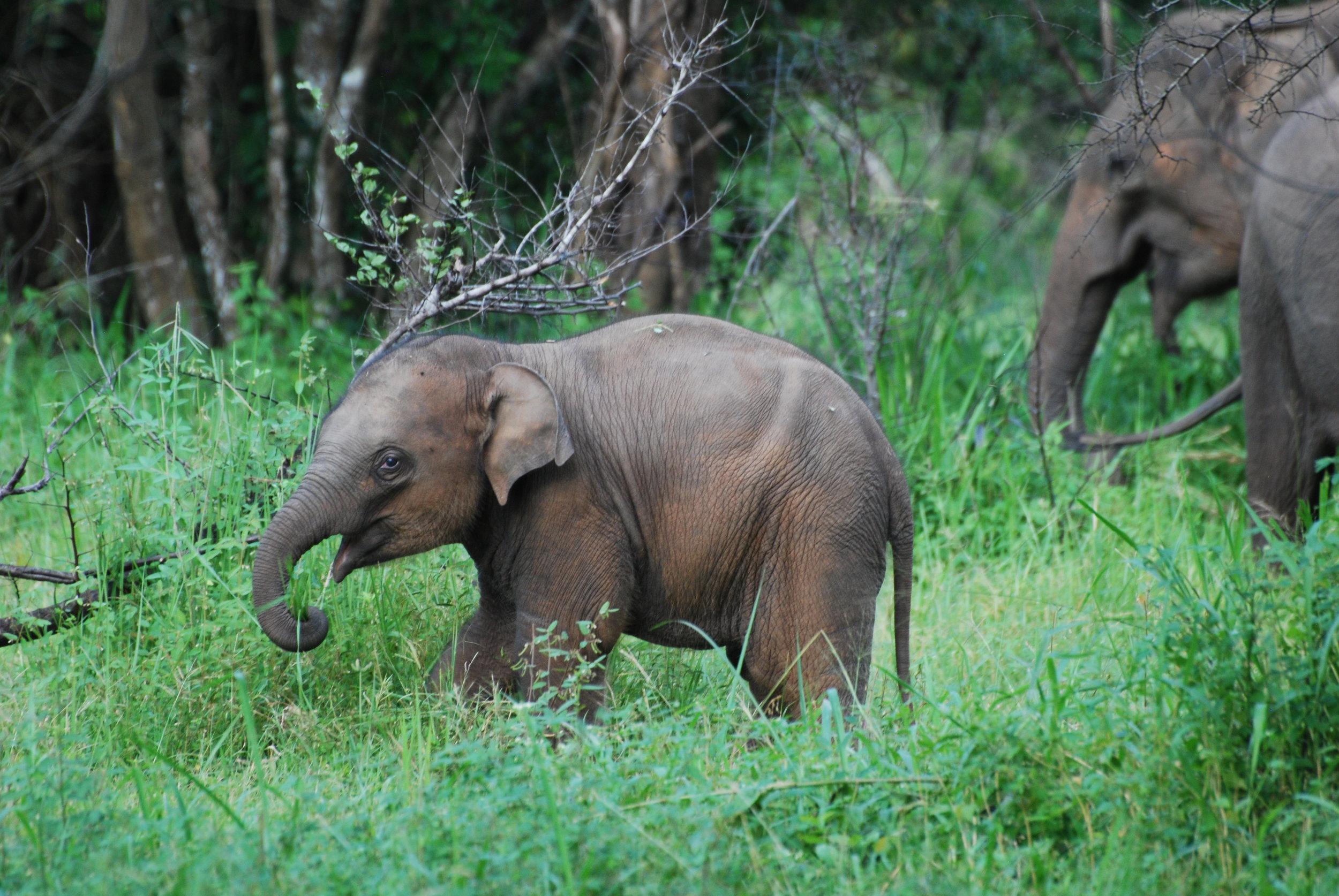 Baby photo #1: Male elephant calf, Wasgamuwa National Park, Sri Lanka (25 Dec 2018). Photo by Chase LaDue.