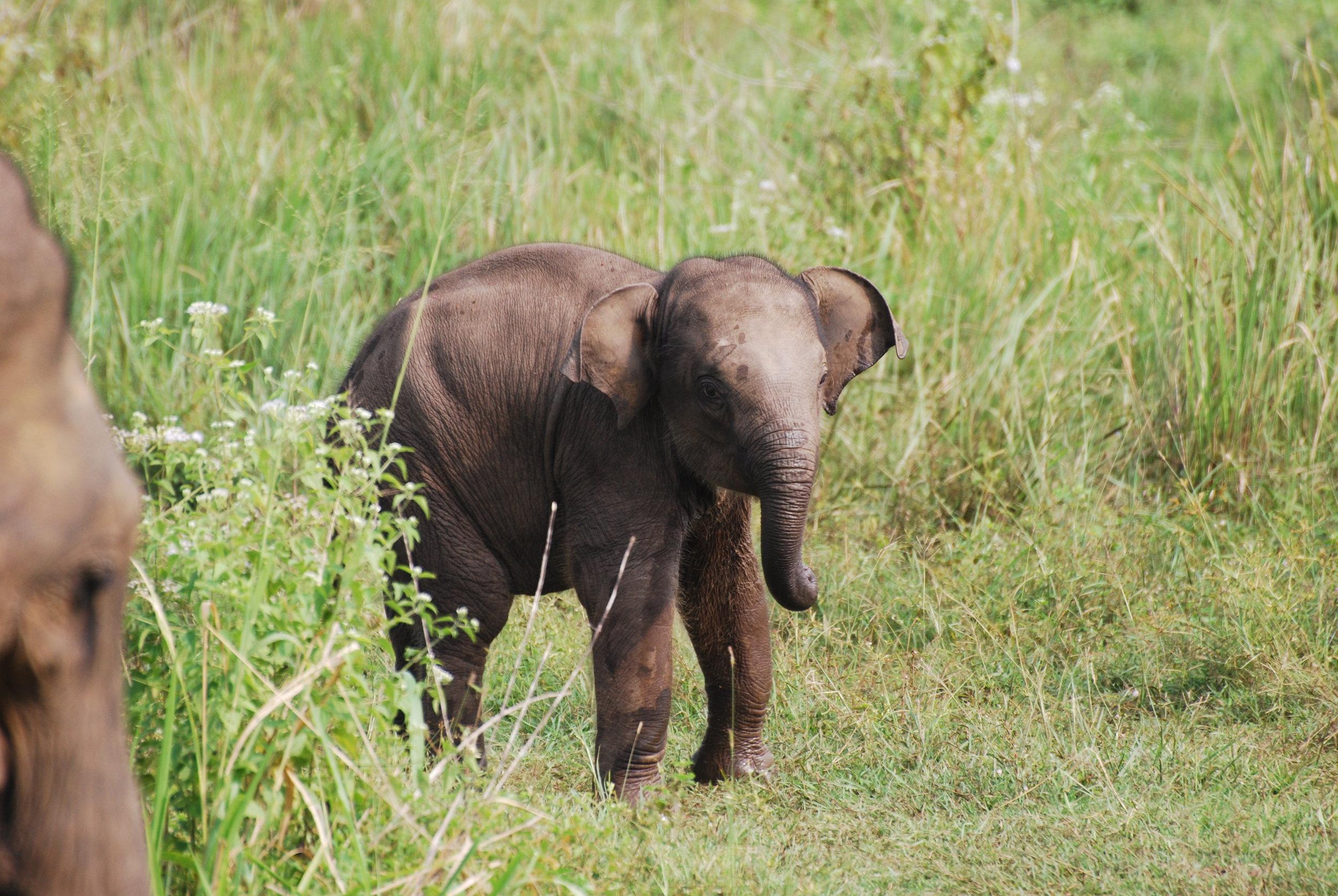 Baby photo #2: Elephant calf, Wasgamuwa National Park, 28 December 2018. Photo: Chase LaDue.
