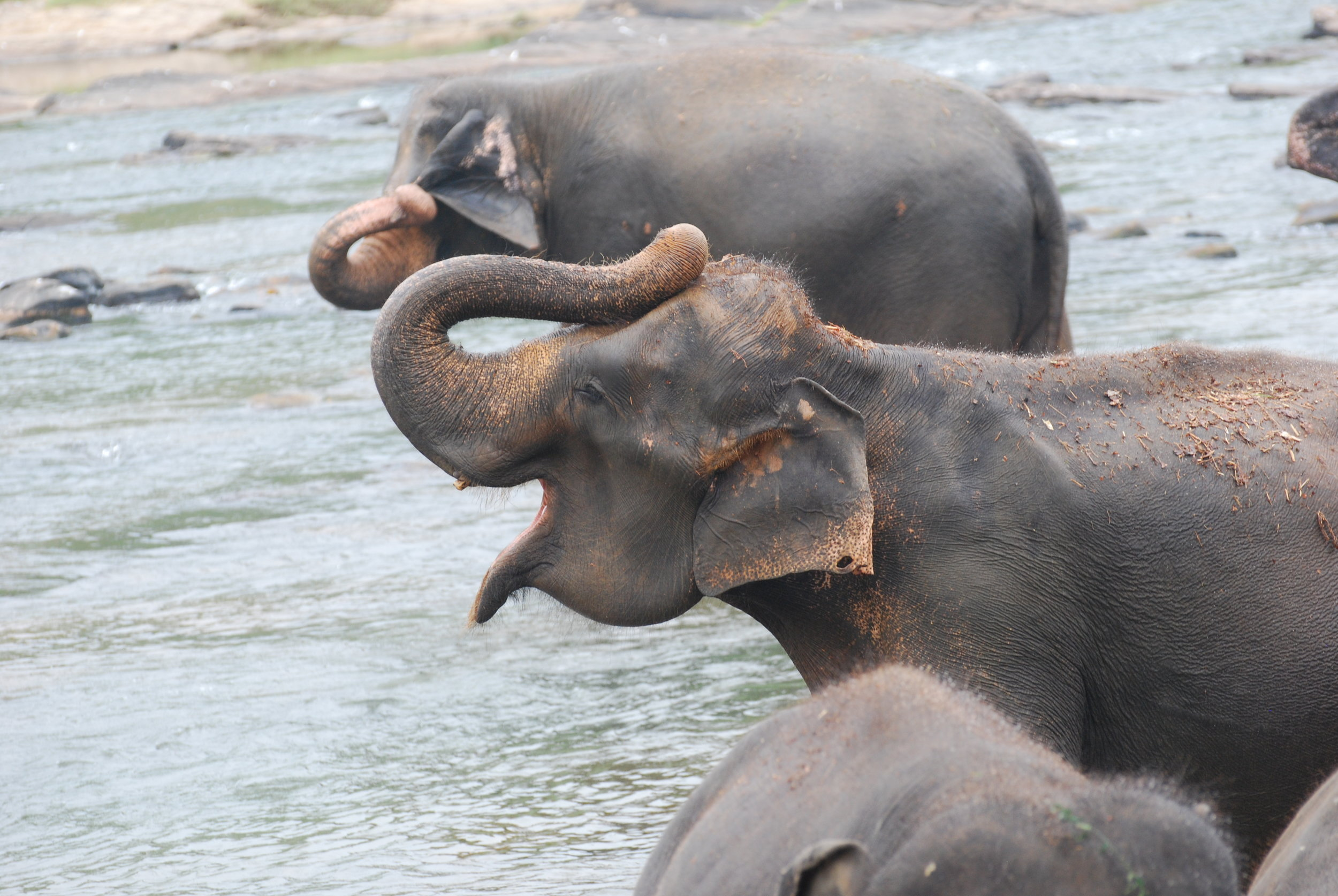 Female elephants in the Maha Oya during a bathing session. 14 January 2019.