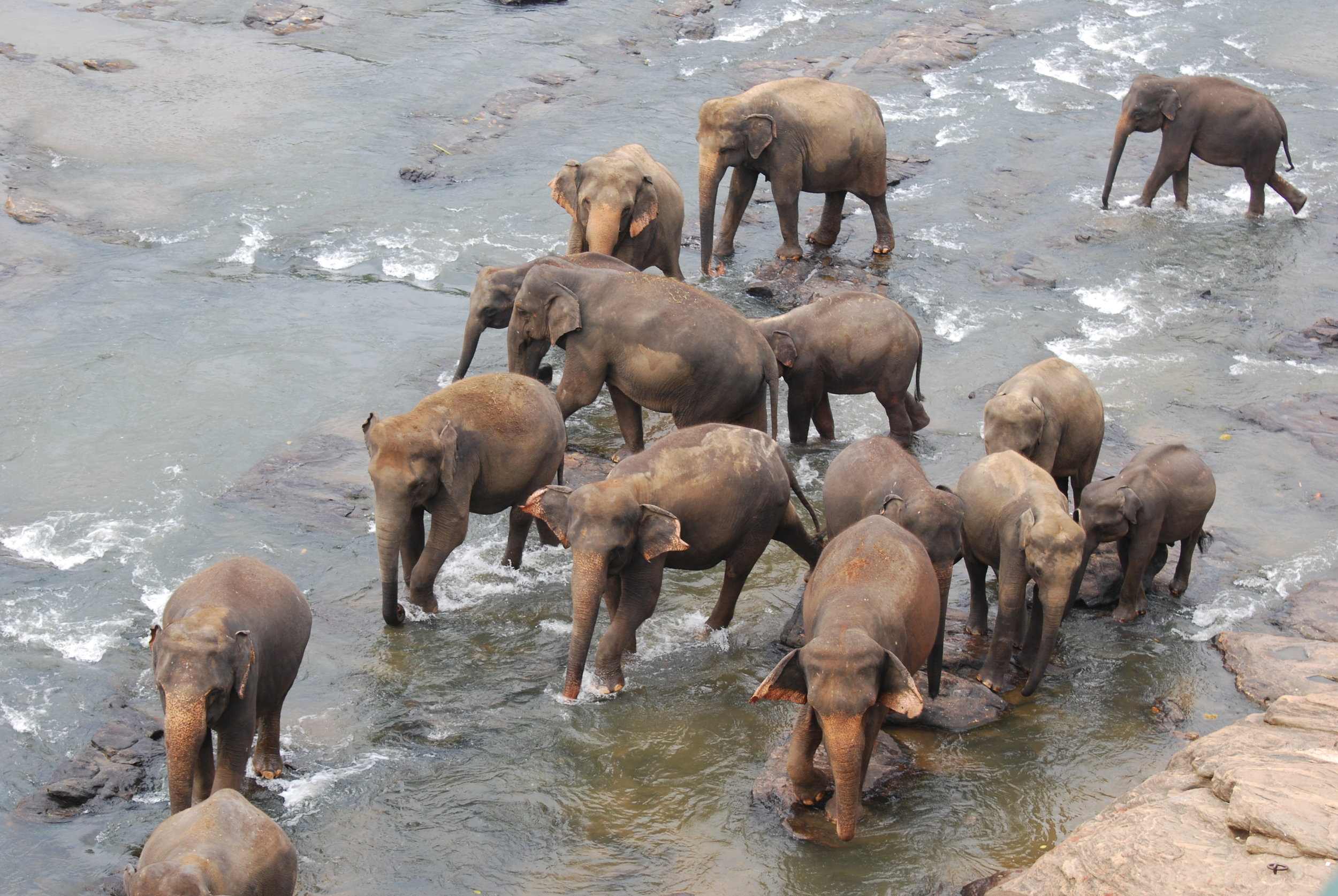 A group of elephants in the Maha Oya during a bathing session, taken from the balcony of our hotel. 14 January 2019.