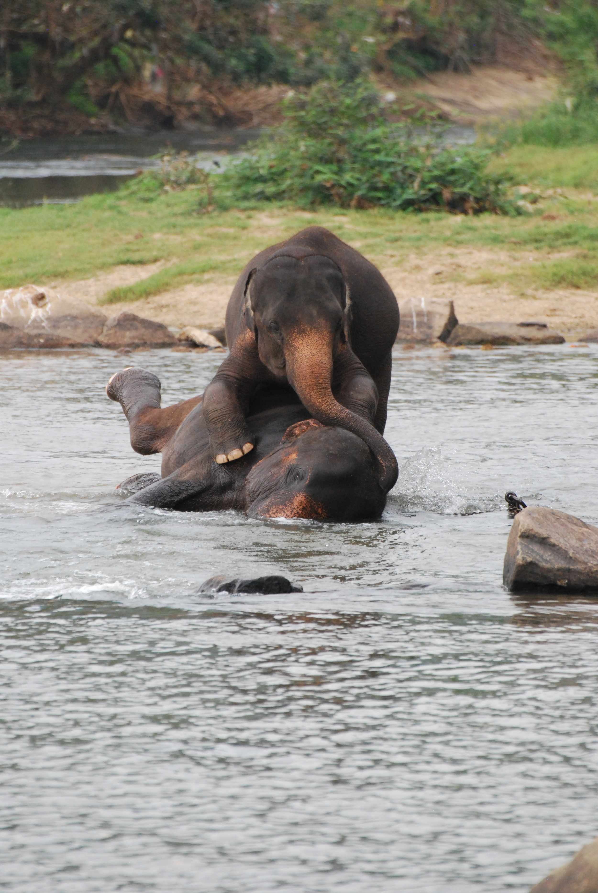 A few younger elephants playing with each other in the river at Pinnawala. 14 January 2019.