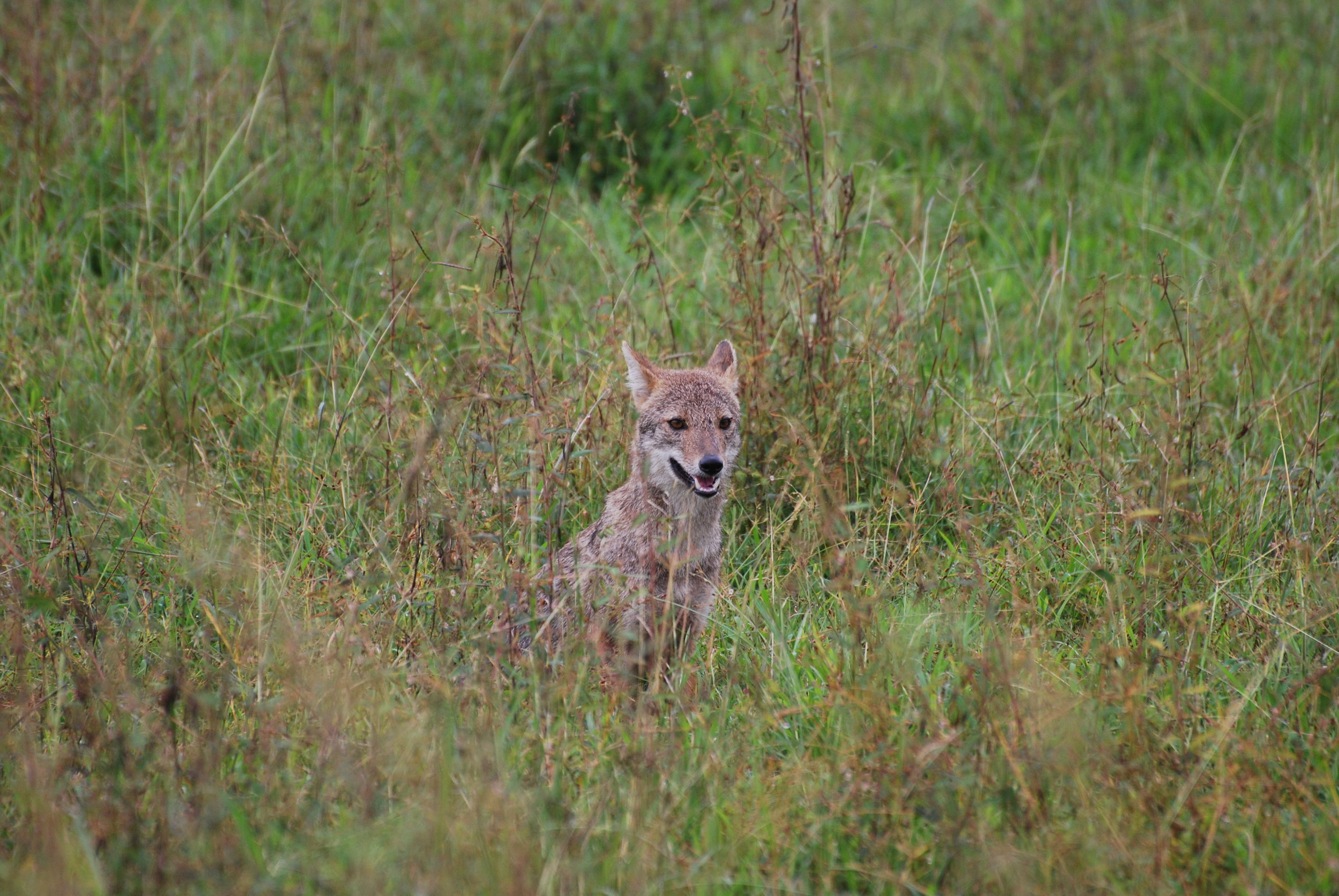 One of a pair of golden jackals we followed through Wasgamuwa for a short bit one day. 26 January 2019.