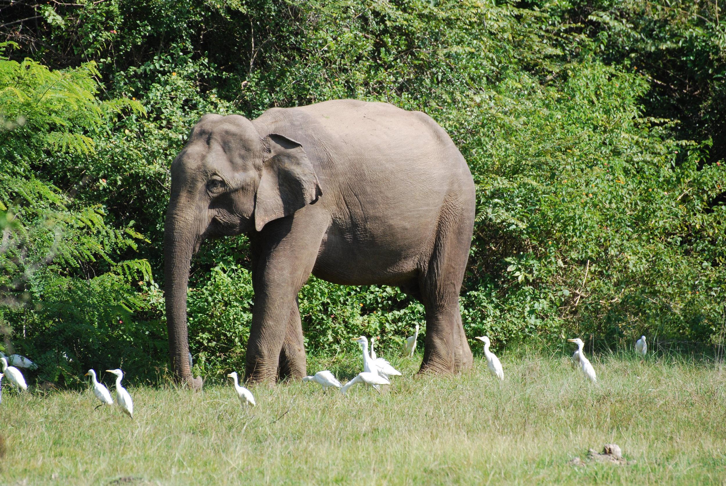 "I mean, look at those things. Male 052 ""Dumbo,"" Wasgamuwa National Park, 28 Jan 2019."