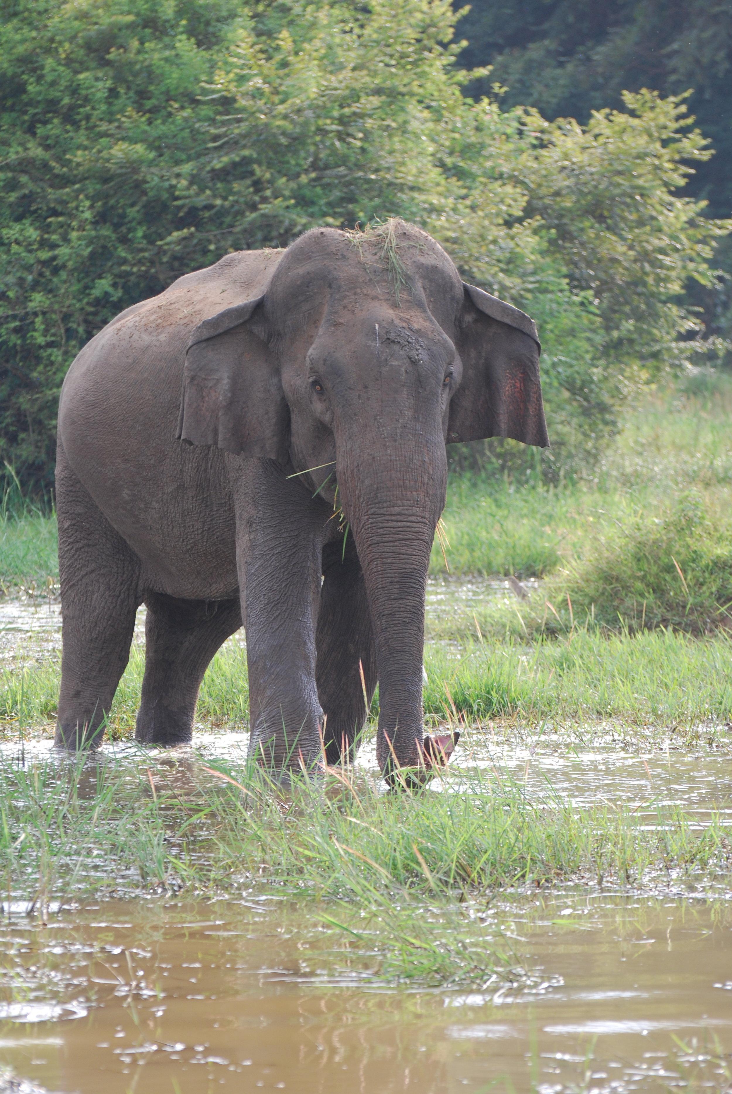 Gimpy (male 038) not looking so gimpy. Wasgamuwa National Park, 20 Jan 2019.