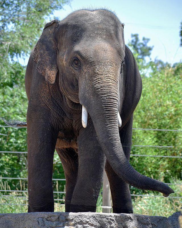 🎉 It's someone's birthday today! 🎉 Chuck, Denver Zoo, now *11* years old (and not so secretly my favorite). . . #denverzoo #denver #colorado #amazebullz #elephantsofdenver #projectmusth #elephantmanagersassociation #askmeaboutelephants #asianelephant #elephant #elephants #zoo #zoosmatter #chuck