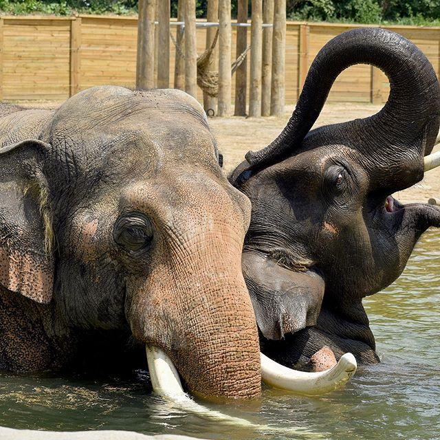 A bromance if I ever saw one. The boys put on a good show for my last day here in Columbus. . Hank and Beco, Columbus Zoo. . . #asianelephant #asianelephants #elephant #elephants #asia #projectmusth #askmeaboutelephants #elephantmanagersassociation #zoo #zoosmatter #columbuszoo #columbus #ohio #hank #beco #bromance