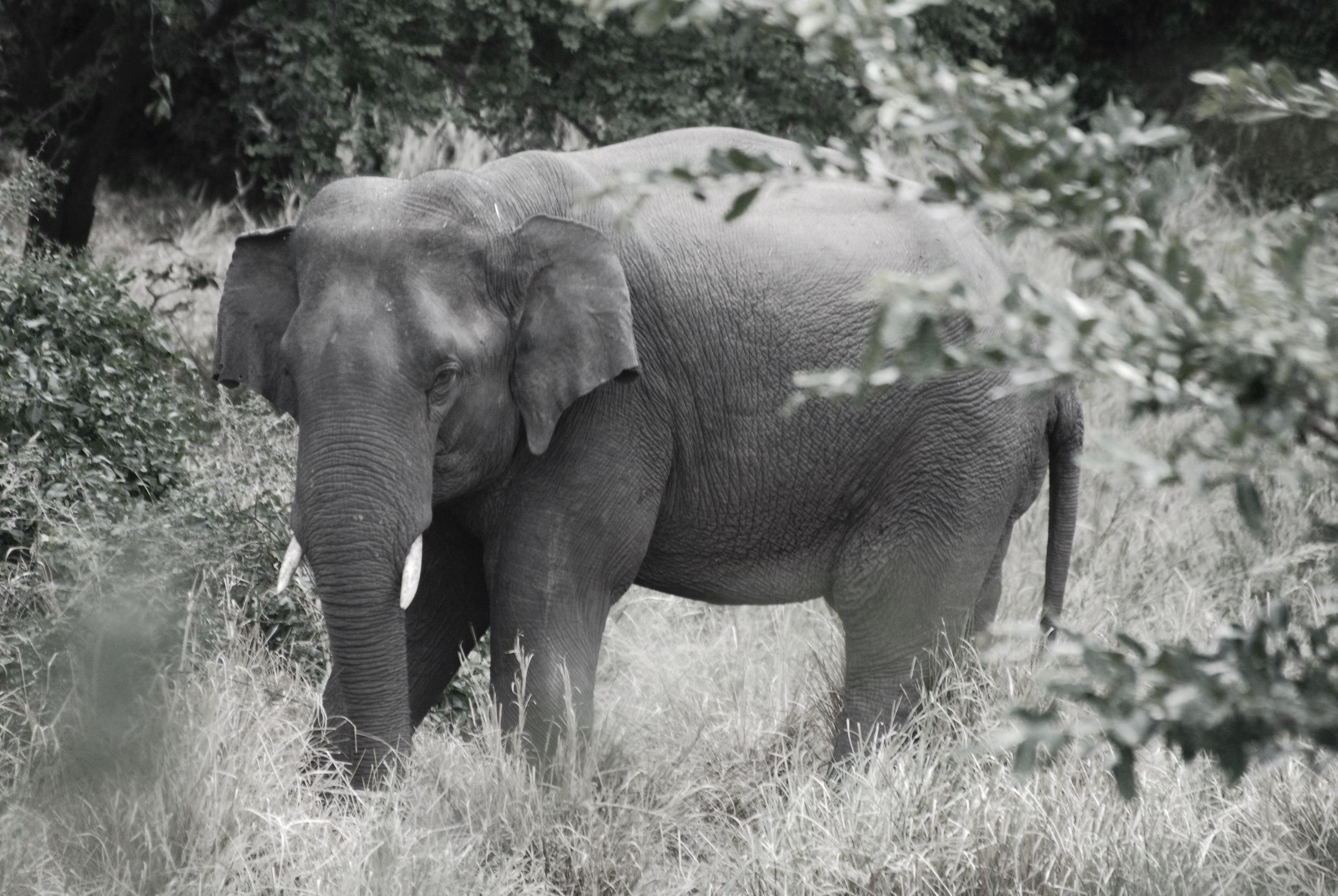 Asian elephant in Kaudulla National Park, Sri Lanka, July 2017. Photo: Chase LaDue.