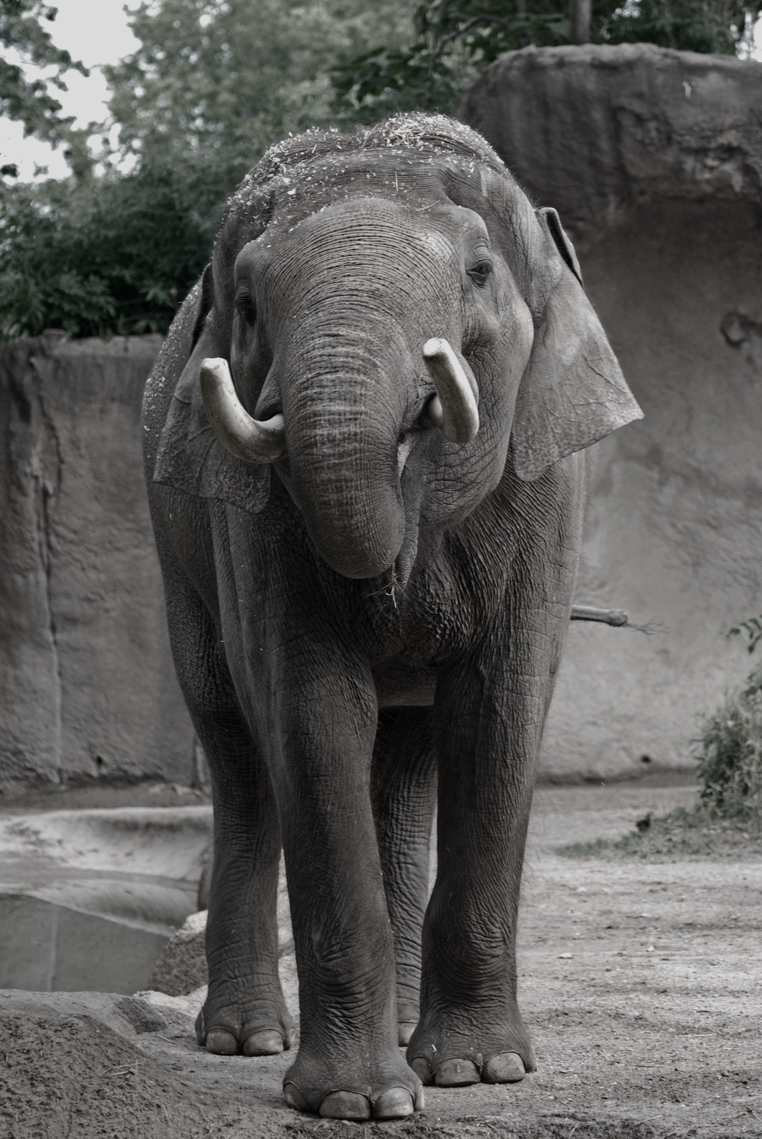 A mature male Asian elephant in a zoo, August 2015. Photo: Chase LaDue.