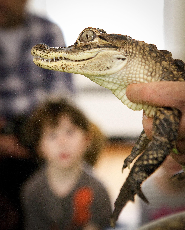 Alligator ©2015 Julia Maloof Verderosa_7306.jpg