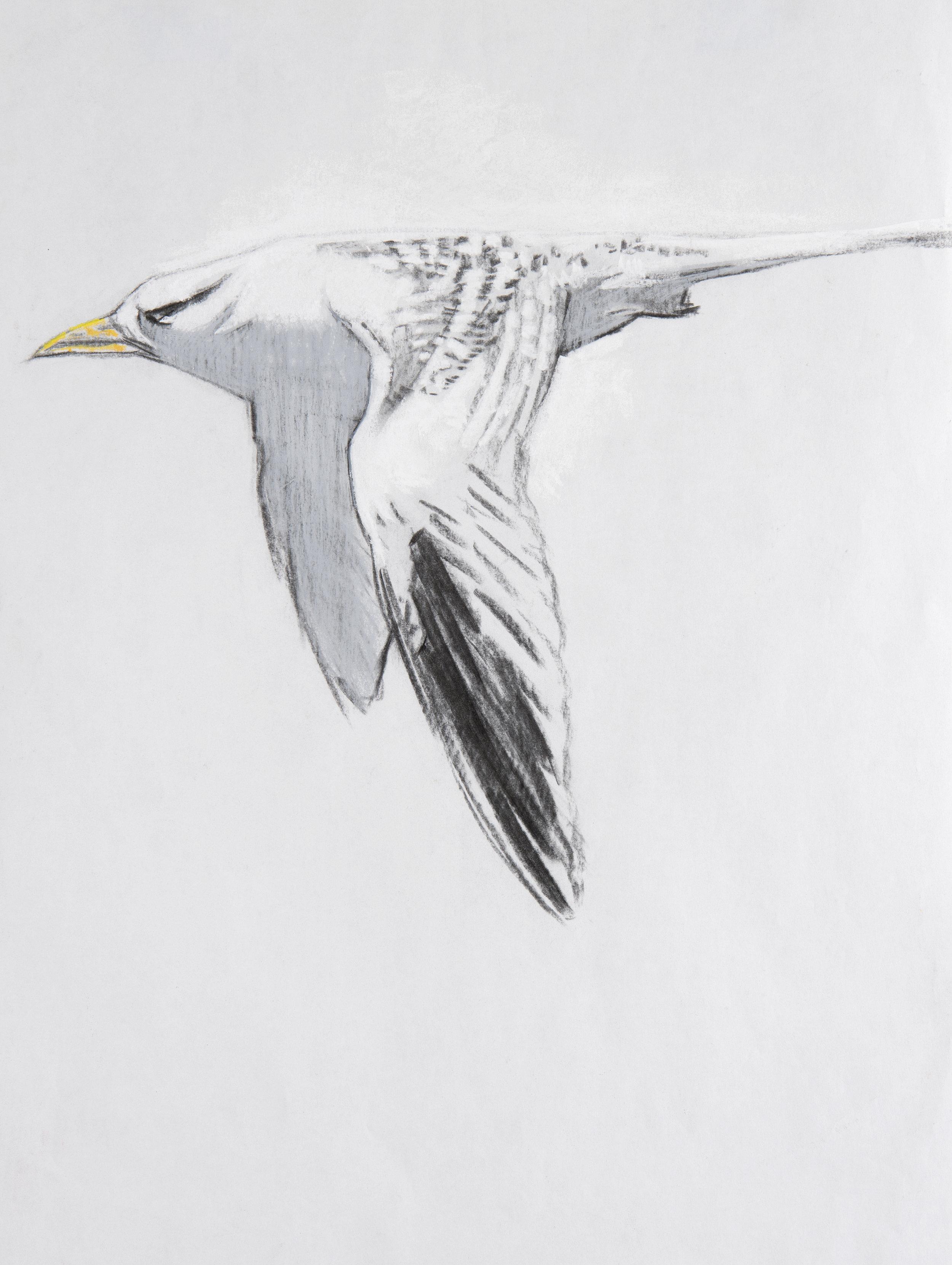 finalwhitwtailedtropicbird_1.jpg