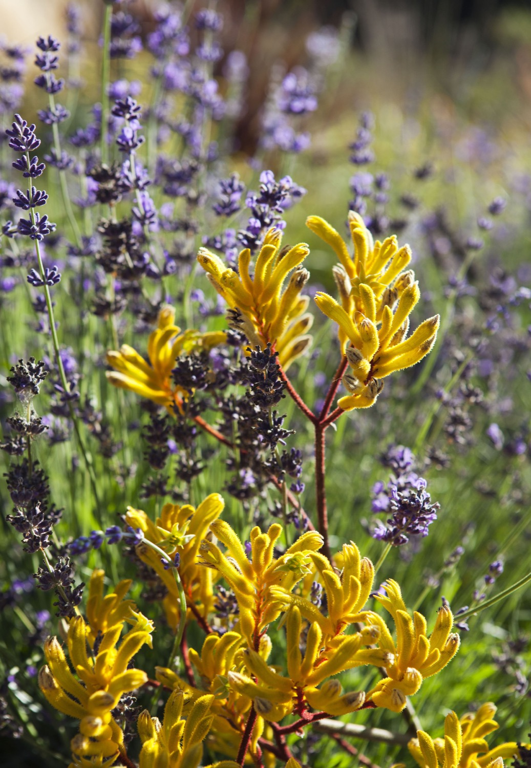 Lavender provides fragrence and color throughout the garden.