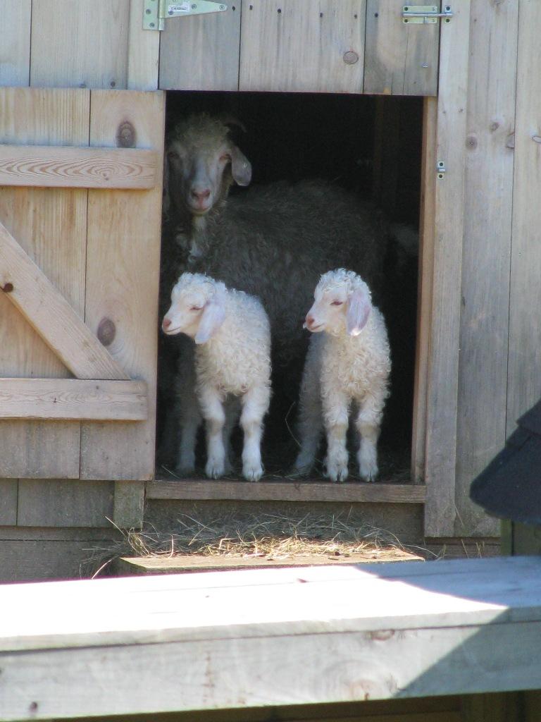 Yellow Dog Farm Goats
