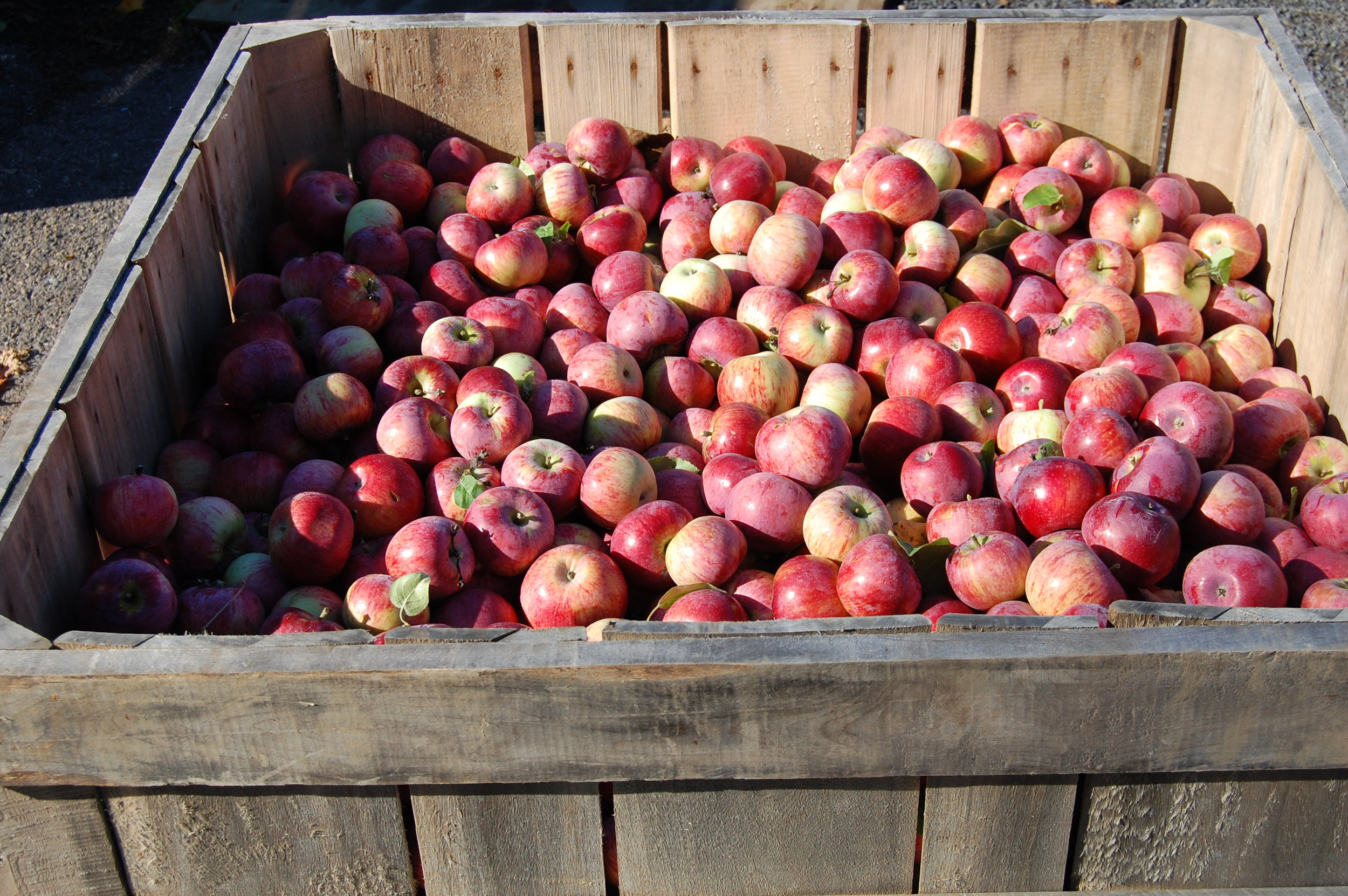Fall apple harvest at Hackett's Orchard