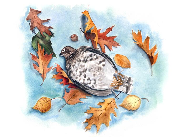 Unfortunate Partridge, watercolor © Denise Ortakales