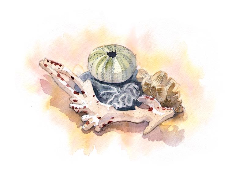 Coral & Urchins, watercolor © Denise Ortakales