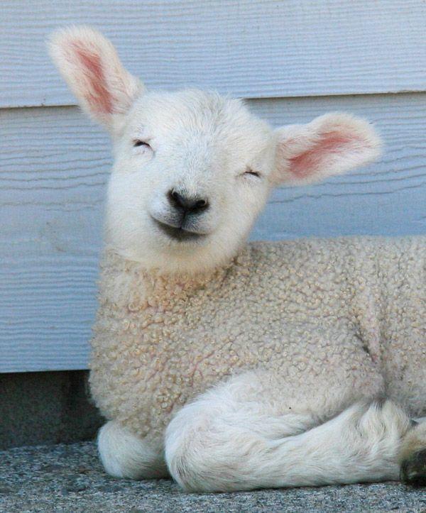 de291d2d1ddb75f63e644dc9e4c68c27--smiling-lamb-keep-smiling.jpg