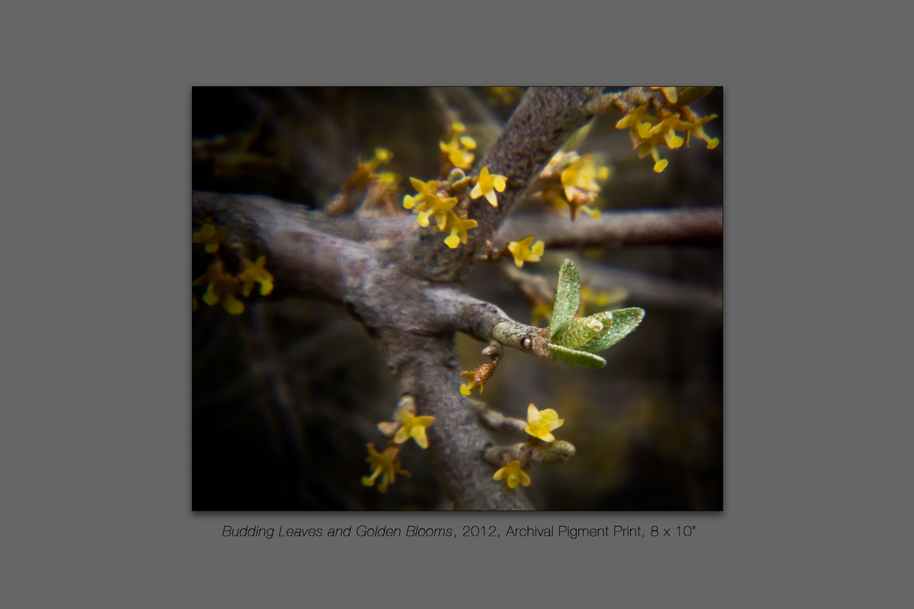 Budding Leaves and Golden Blooms, 2012