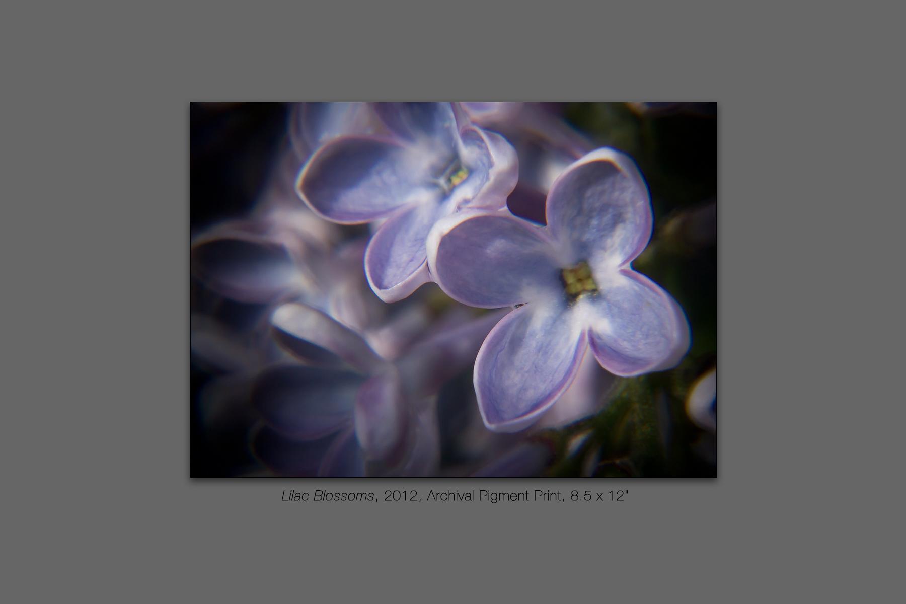 Lilac Blossoms, 2012