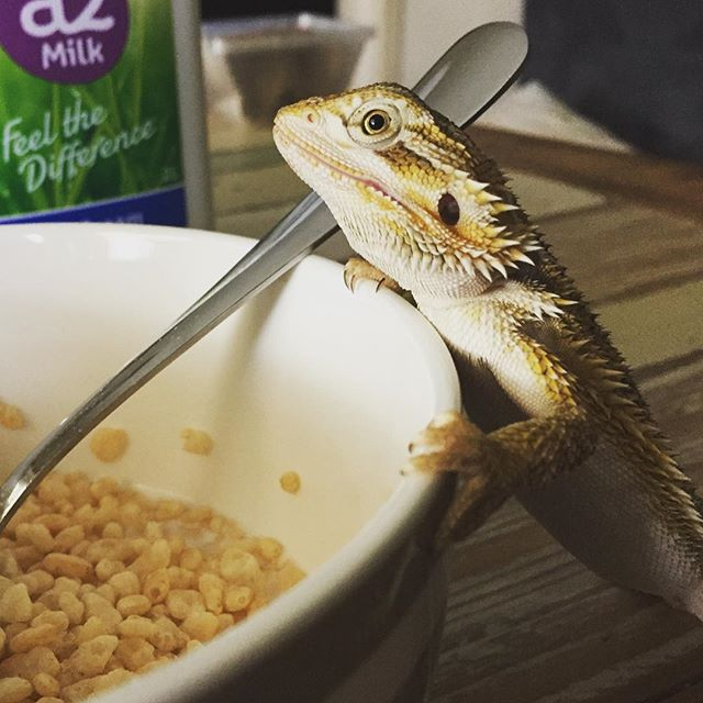 Sunday breakfast at home... Rose wanting my sons rice bubbles. This house is a zoo.... #beardeddragon #lovewhatido #photography #family