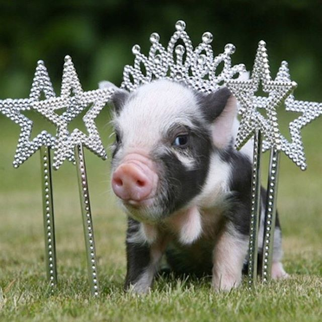 We interrupt your Instagram feed to let you know there is a freakin' PIG PAGEANT this Sunday 3-6pm at @buzzmillcoffee. All local pig owners are invited to bring their leashed pigs out to strut their stuff and join @centraltexaspigrescue for some fun while they raise money for @amplifyatx to build their medical trailer 🐷 spectators welcome too of course! (@gumbo_thepig you should enter!) . . . #goodpartyatx #pigrescue #austinlife #austintexas #eastaustin #petpig #igaustin #atxevents #do512 #365thingsaustin #austin360 #atxblogger