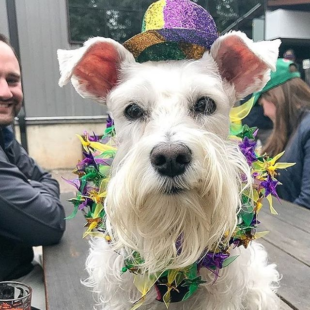 SATURDAY: get ready to catch some beads, it's time for the 4th annual Mardi Gras Dog Parade at @theabgb! Dog costume contest, live music, and King cake - don't miss it! Benefiting @pug_rescue_austin 🎉 . . . 📸 @lifewithmadden #austinlife #austin360 #austintexas #southaustin #goodpartyatx #dogsofaustin #austindogs #caninesofaustin #do512