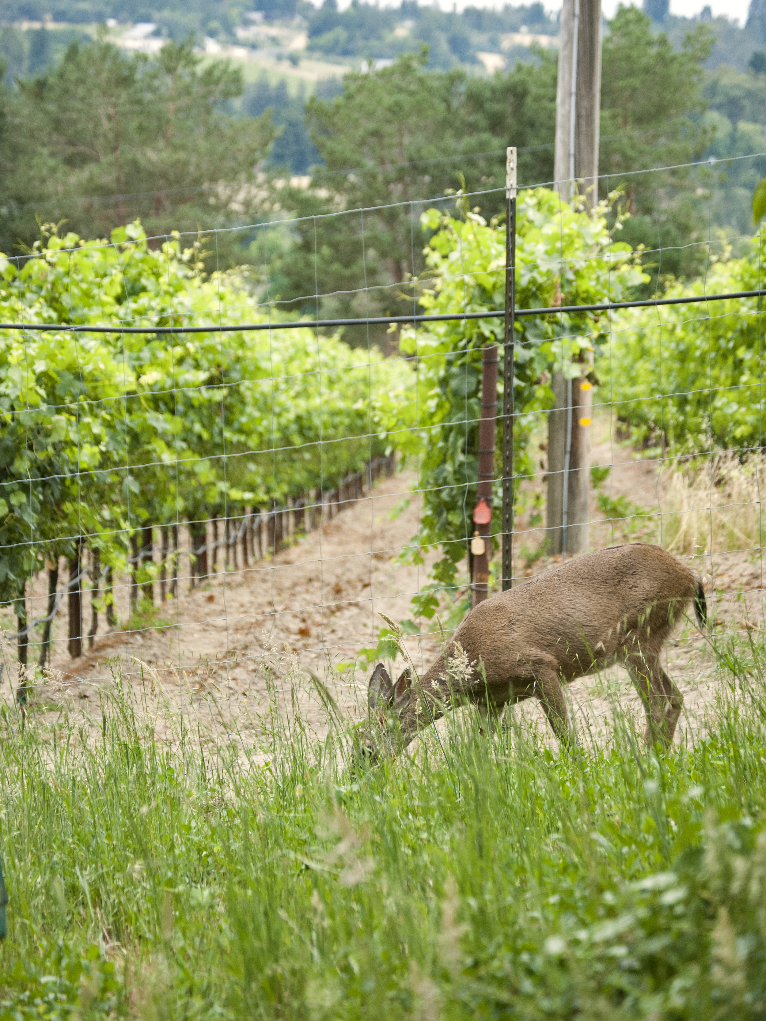 deer on the vineyard