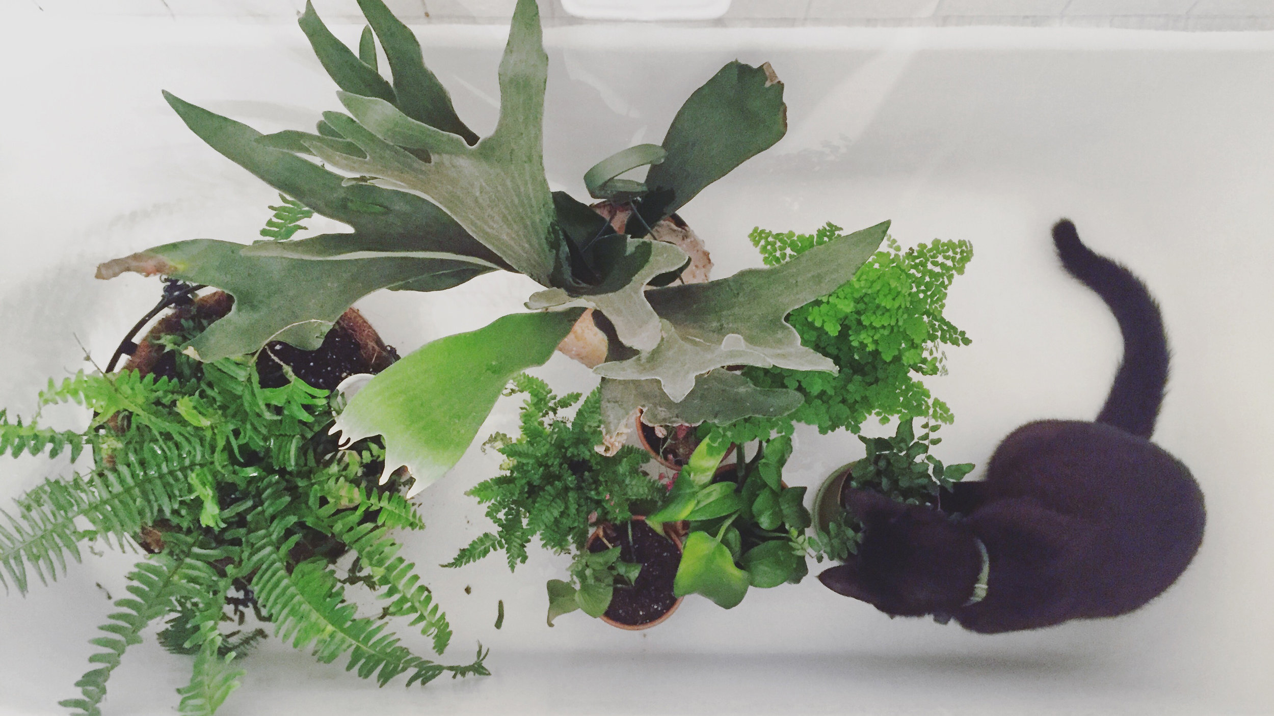 Houseplants (and Pierre) in the bathtub