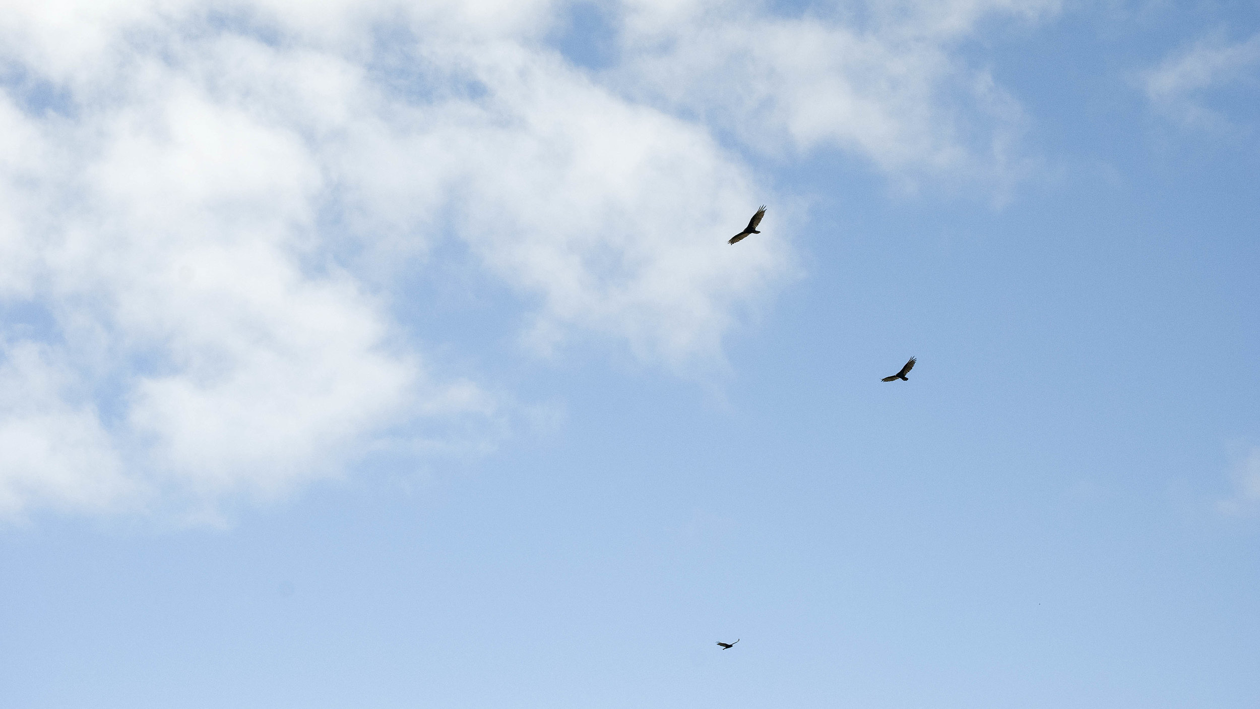 Three turkey vultures, soaring overhead.
