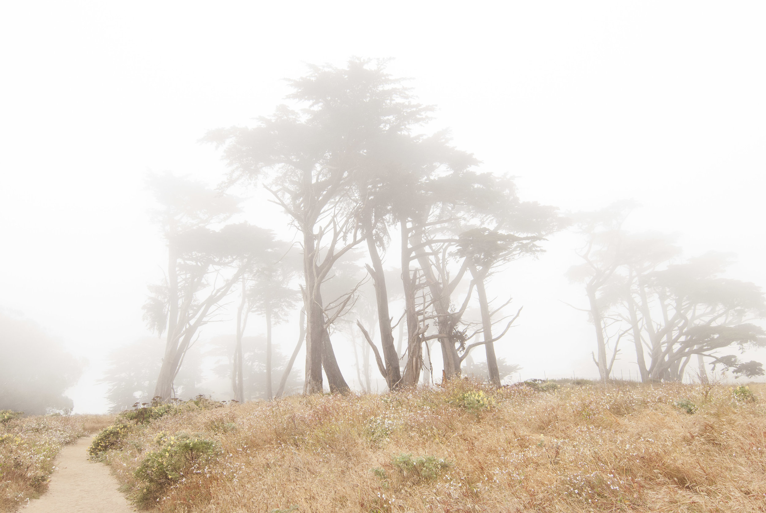 Cypress Trees in Fog