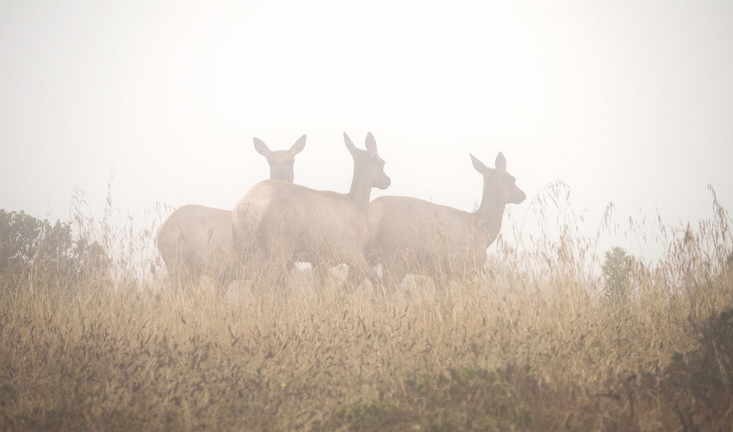 Tule Elk / Photo by Chuck