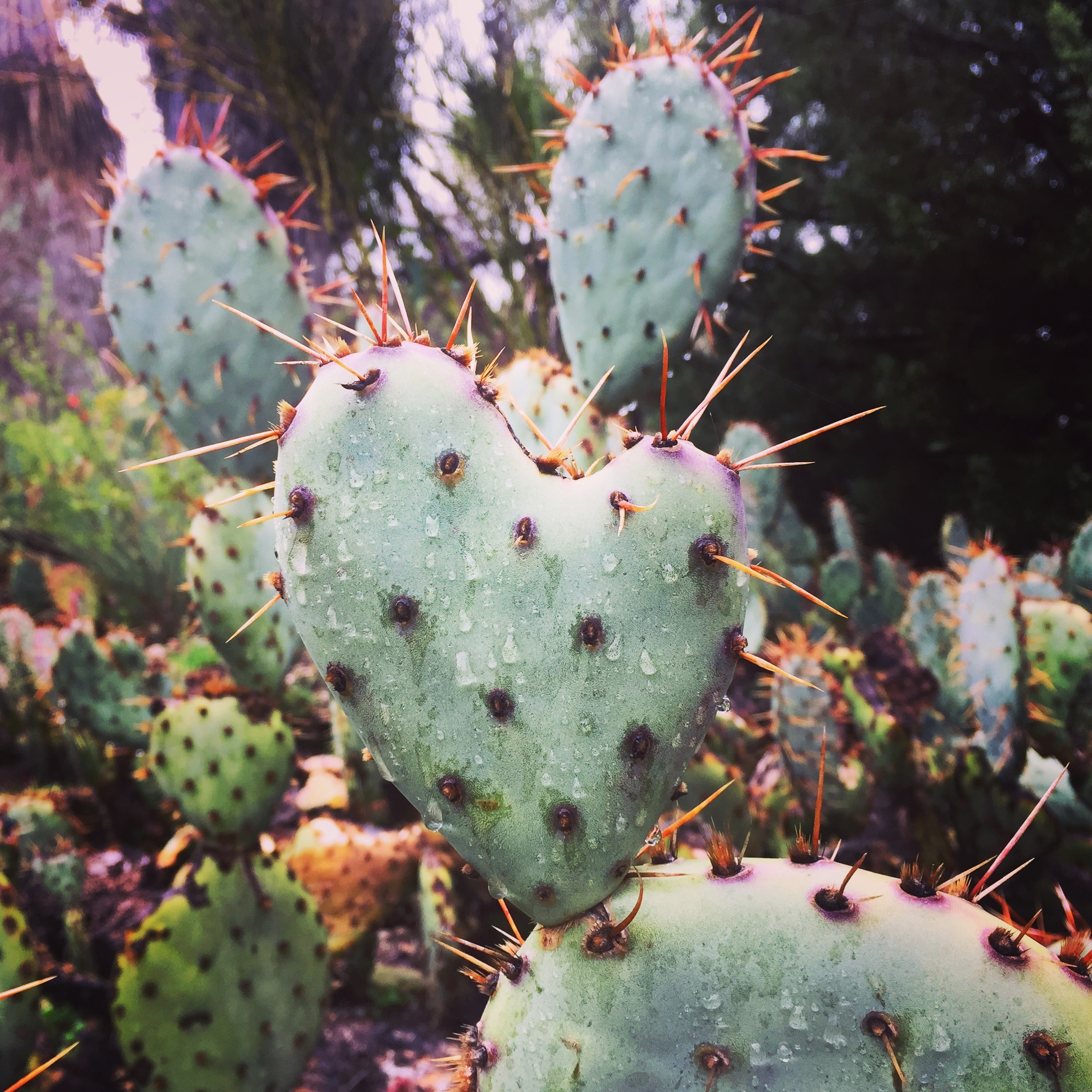 Opuntia (Prickly Pear Cactus) with a heart-shaped stem at the Rancho Santa Ana Botanic Garden