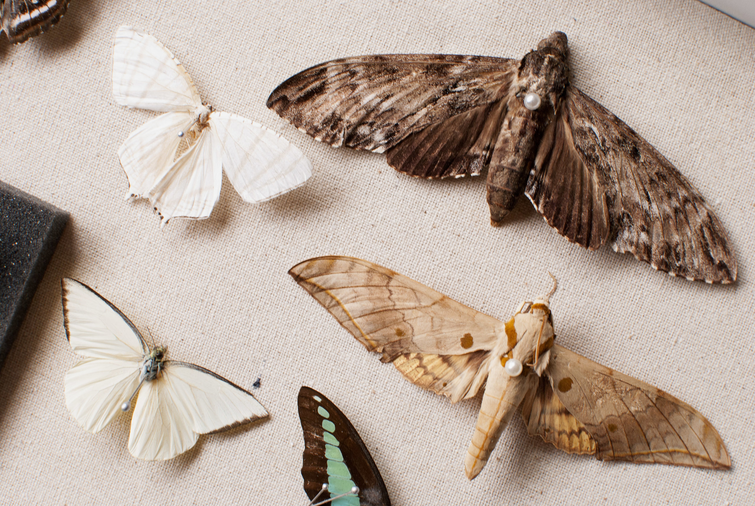 An assortment of moths and butterflies!