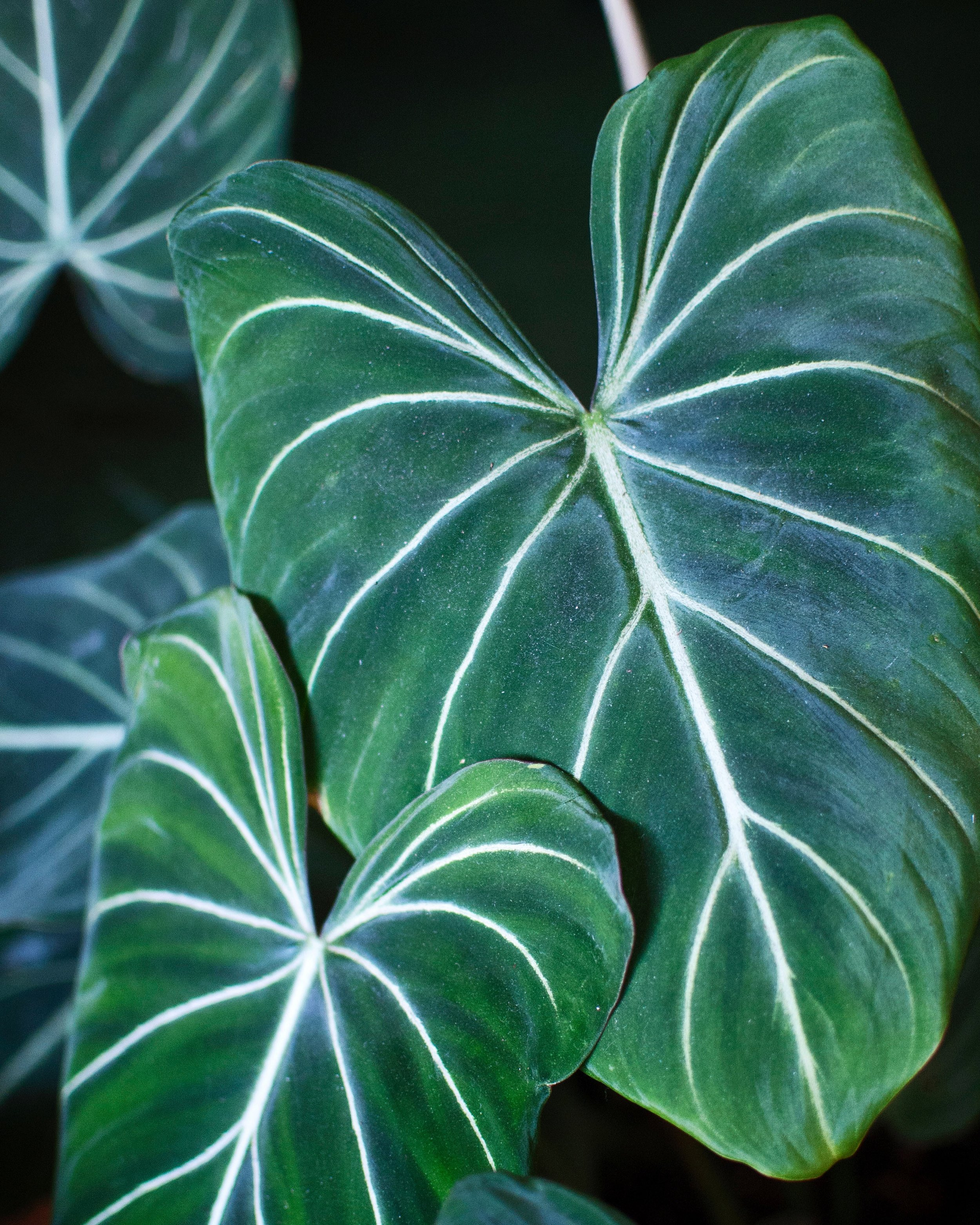 Philodendron gloriosum  has   at least four new leaves since Spring began.