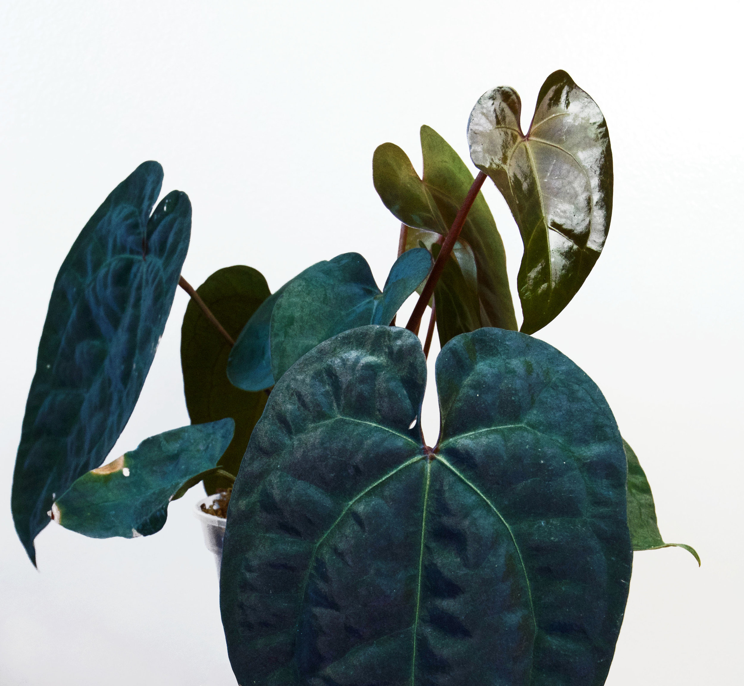 Anthurium  'Ace of Spades' - the young leaves are shiny and bronze.