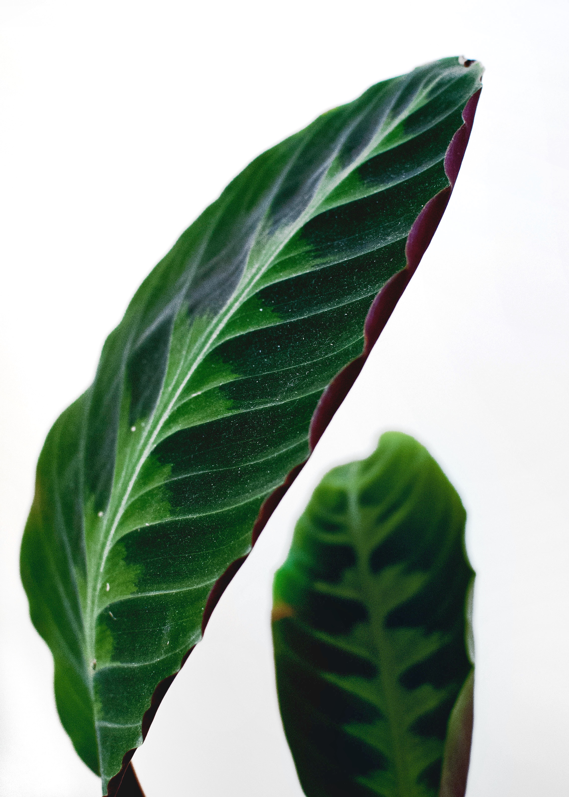 Calathea warscewiczii  (Velvet Calathea) I love those purple ruffled leaf margins.
