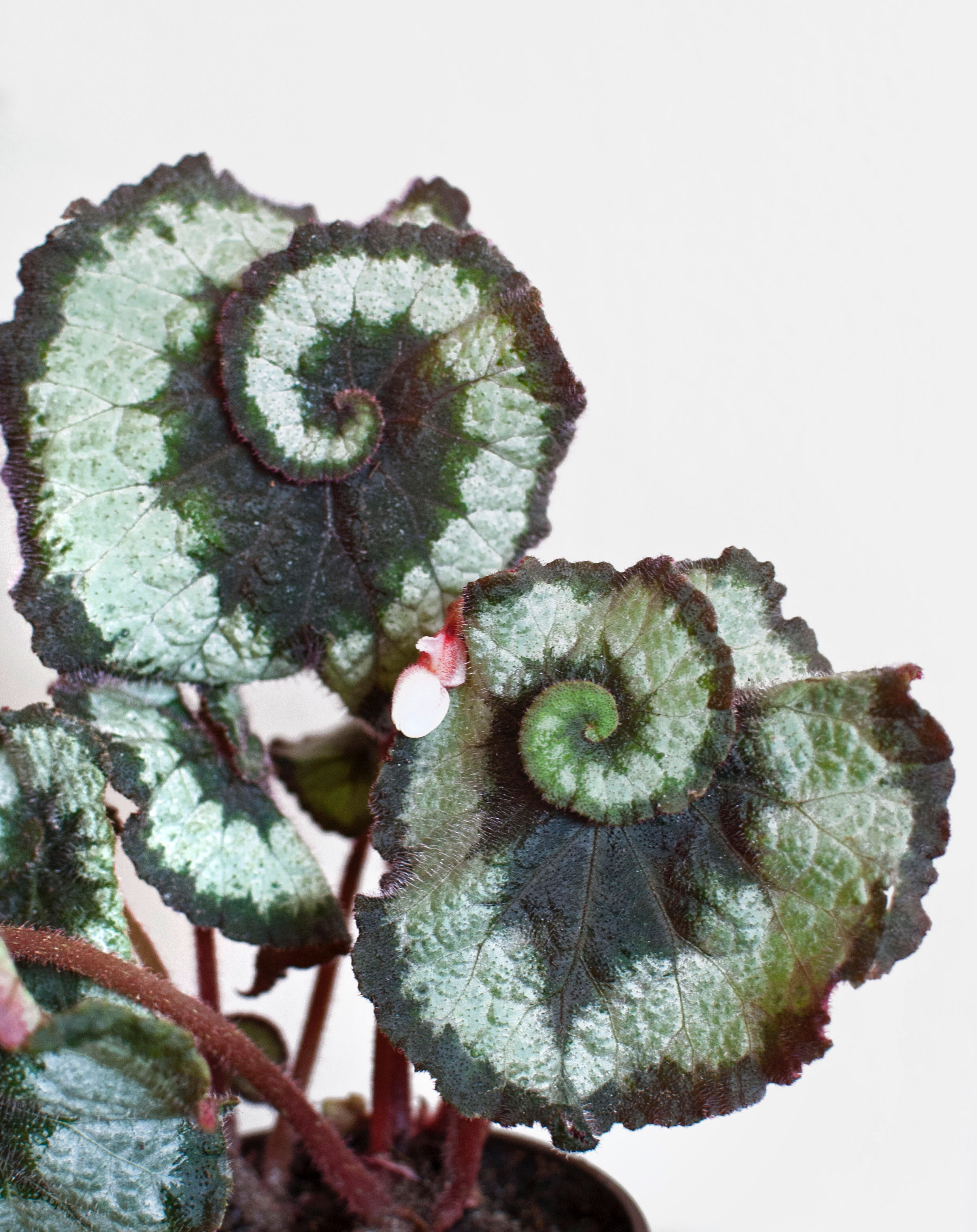 Begonia  'Escargot' — swirls.