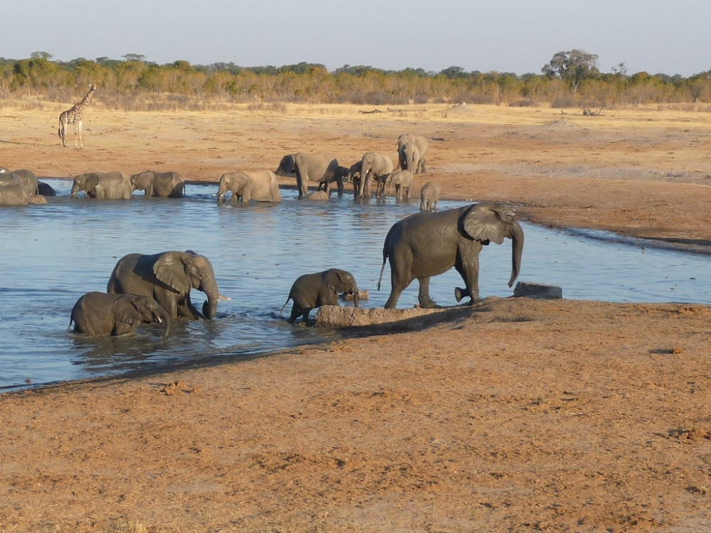 One herd leaving and the other entering the water hole