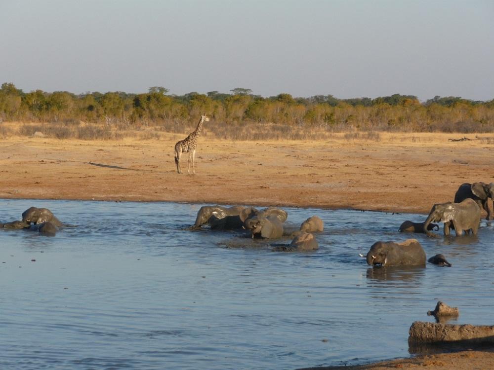 Elephants at waterhole Hwange