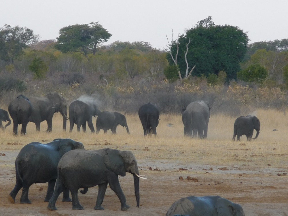 Roaming Fox Hwange elephants 32.JPG