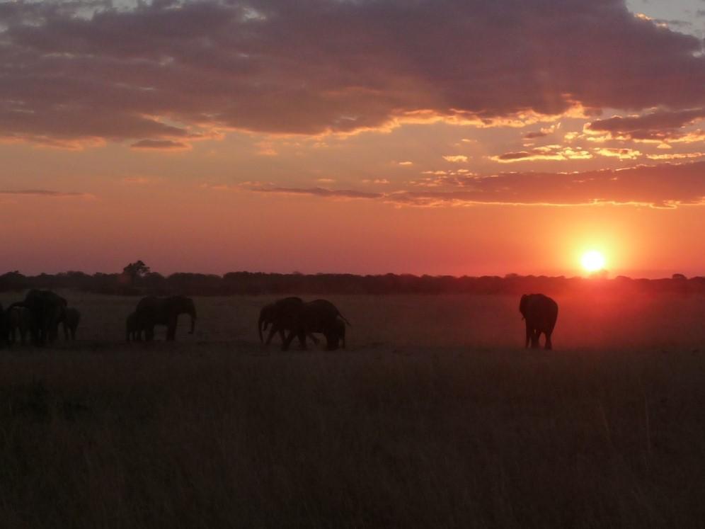 Roaming Fox Hwange elephants sunset 2.JPG