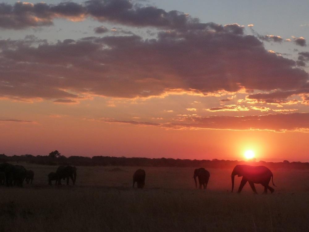 Roaming Fox Hwange elephants sunset 3.JPG