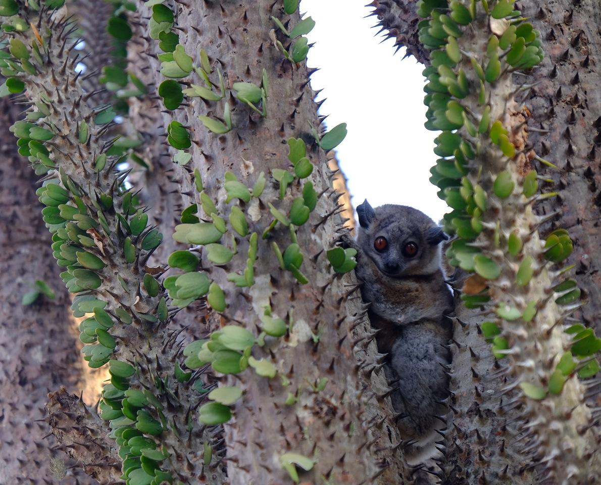 Dwarf lemur Southern Madagascar.jpeg