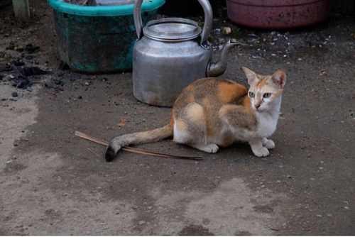 Burmese cat on the street in Yangon, Myanmar.png