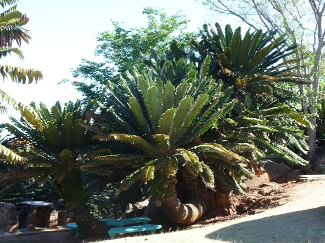 Modjadji Reserve Encephalartos transvenosus.JPG
