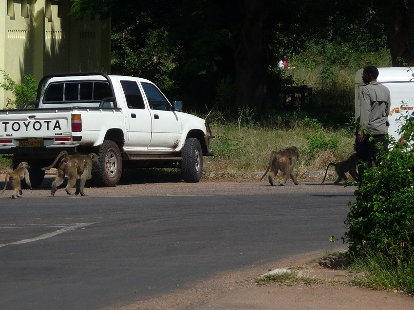 Baboons in road near Victoria Falls town.JPG