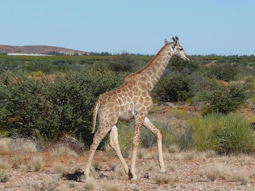 Giraffe Augrabies with vineyard in background.JPG