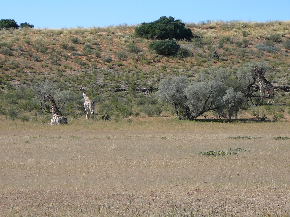 Giraffe resting and snacking on the vegetation